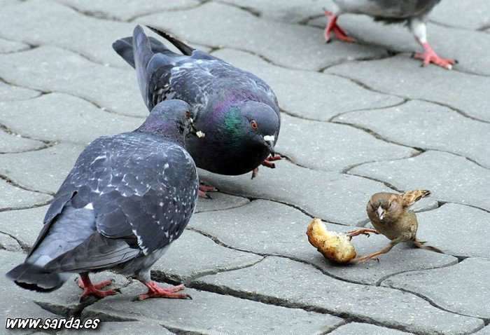 el gorrion gana